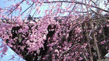 Sakura20162