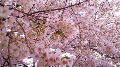 20110410sakura4