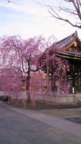 Sakuramarch