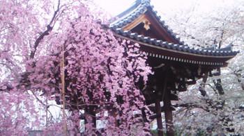 Sakura20166