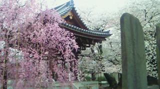 Sakura20165
